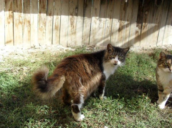 Les mamies et papis chats à l'adoption :) - Page 2 Image.php?dossier=uploads&image=22_tigre_et_blanc_po