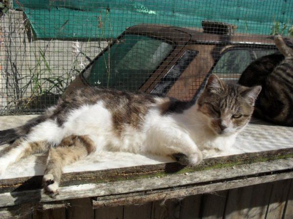 Les mamies et papis chats à l'adoption :) - Page 2 Image.php?dossier=uploads&image=23_tigre_et_blanc_ag