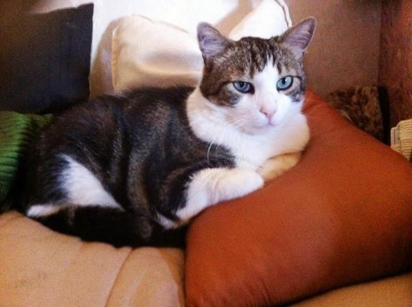 Nos positifs !! 45 amours de chats à adopter - Page 3 Image.php?dossier=uploads&image=chaminou2015_1