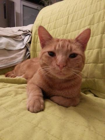 Les chats à adopter qui s'entendent avec les chiens Image.php?dossier=uploads&image=chat_roux_robin