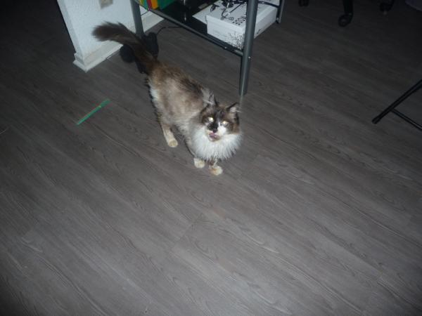 Les mamies et papis chats à l'adoption :) - Page 2 Image.php?dossier=uploads&image=papi_birman