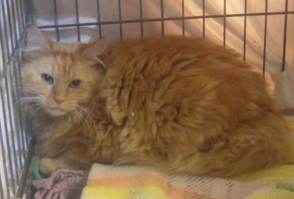 Nos positifs !! 45 amours de chats à adopter Image.php?dossier=uploads&image=roussepoilslongs