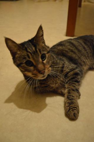 Les mamies et papis chats à l'adoption :) - Page 2 Image.php?dossier=uploads&image=thot_410