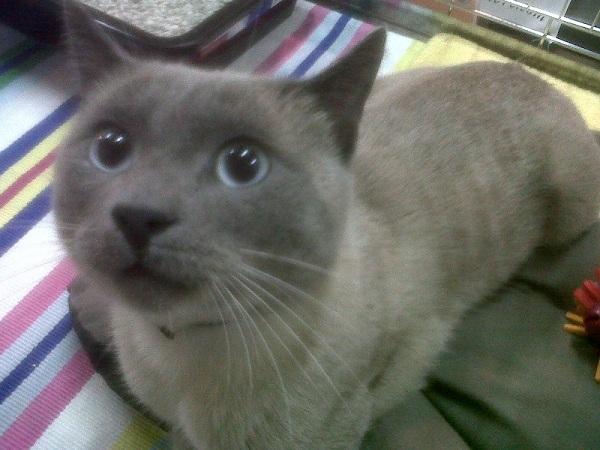 Nos positifs !! 45 amours de chats à adopter - Page 2 Kolia