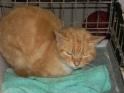 Les mamies et papis chats à l'adoption :) - Page 2 Miti_rousse